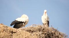 Storks in El Badii palace wall in Marrakesh Stock Footage