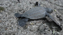 Close-up of three leatherback turtle crawling on the beach, Trinidad, Trinidad Stock Footage