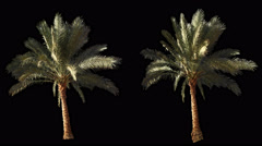2 blowing on the wind beautiful green full size real tropical palm trees Stock Footage