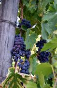 Red wine grape hangs on the grapevine on vertical compostion Stock Photos
