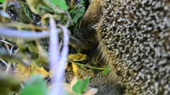 Closeup of hedgehog eating a dead bird in the wild Stock Footage