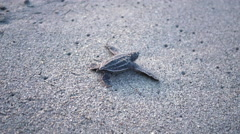 Leatherback turtle hatchlings scuttle down beach to sea, Trinidad, Trinidad and Stock Footage