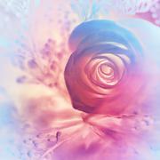 Dreamy rose background Stock Photos