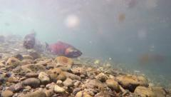 Sockeye Salmon Swimming Upstream Underwater in Alaska Stock Footage