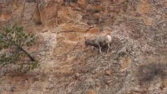 Bighorn Sheep on Steep and Dangerous Cliff Ledge Face Stock Footage