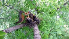 American Red-breasted Robin at Nest Feeding Worm to Chicks Stock Footage