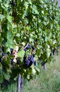 Red wine grape hangs on the grapevine - stock photo