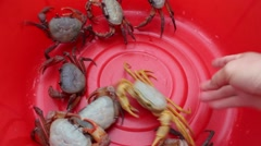 Crab in the red bucket, crabs in mesh bags ,crab in hand Stock Footage