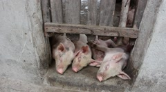 Pigs eating in a floating pig pen Stock Footage