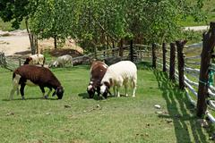 group of sheep in the farm - stock photo