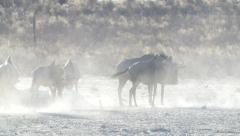 Unsettled gnus in backlit Kalahari dust Stock Footage