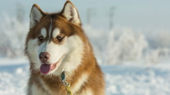 Portrait of siberian husky sled dog at snowy winter Stock Footage