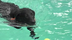 Dog getting tennis ball in pool at 240 fps. Stock Footage