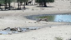 A slow motion cheetah kill filmed in the Kgalagadi Transfrontier Park. Stock Footage