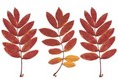 Real autumn rowan leaves, set from 3 red-yellow branches - stock illustration