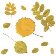 Autumn rowan, birch or Betula, aspen or Populus tremula leaves - stock illustration