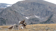 Wild Bighorn sheep Ovis canadensis Rocky Mountain Colorado Stock Footage