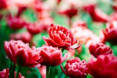 Red Tulips Flowers In Spring Garden Flower Bed Stock Photos