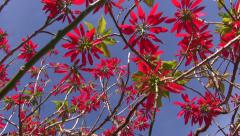 Wild flowering poinsettia shot from beneath Stock Footage