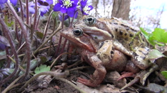 Flowering hepatica and two copulating frogs in spring Stock Footage