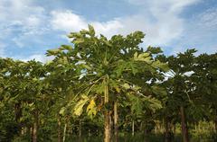 Plantation Papaya Papaw or Pawpaw Carica papaya growing on a tree Maldives Asia - stock photo