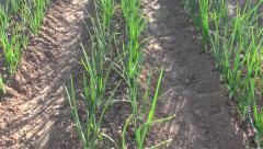 Sunlit onions growing in vegetable garden Stock Footage