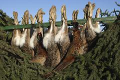 European hares Lepus europaeus and common pheasants Phasianus colchicus shot Stock Photos