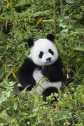 Giant Panda Ailuropoda melanoleuca 2 years China Conservation and Research - stock photo