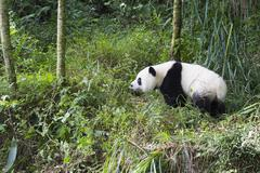 Giant Panda Ailuropoda melanoleuca 2 years China Conservation and Research Stock Photos