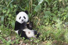 Giant Panda Ailuropoda melanoleuca 2 years resting China Conservation and - stock photo