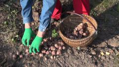 Stock Video Footage of Farmer gardener  harvesting Jerusalem artichoke  helianthus tuberosus