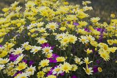 Marguerite Daisy or Summer Daisy Argyranthemum frutescens yellow flowers and - stock photo