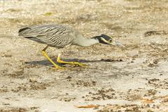 Yellow crowned night heron Nycticorax violaceus hunting Ding Darling National Stock Photos