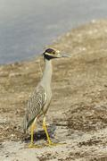Yellow crowned night heron Nycticorax violaceus Ding Darling National Wildlife - stock photo
