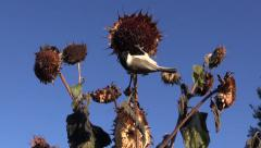 Marsh tit picking sunflower heliantus seeds Stock Footage
