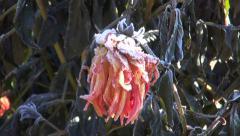 Frozen dahlia plant in autumn garden Stock Footage