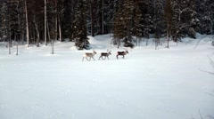 Stock Video Footage of three reindeer run across frozen lake in snowy forest