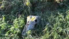Old horse skull in frosted autumn grass Stock Footage