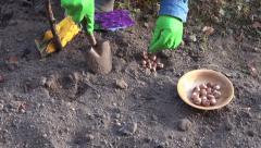 Man gardener planting crocus bulbs in autumn Stock Footage