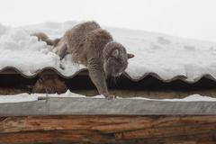 Siberian cat winter walks - stock photo