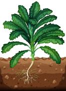 Fresh kale with roots - stock illustration