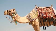 Egypt, Hurghada, a large camel on the beach red sea Stock Footage