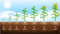 Growing corn on the ground - stock illustration