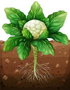 Cauliflower with roots in the ground - stock illustration