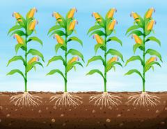 Corn planting on the ground - stock illustration
