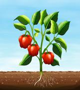 Red capsicum on the tree - stock illustration