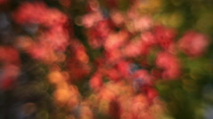 Excellent horizontal pan of defocused maple tree with autumn colored foliage - stock footage