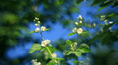 Wonderful couple of jasmine twigs with white flowers and buttons Stock Footage