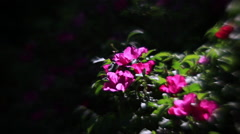 Wonderful wild rose bush with pink flowers and flying bees on dark background Stock Footage
