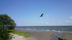 Vultures fly by at the beach Stock Footage